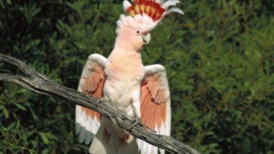 Photo of Попугай какаду — продолжительность жизни