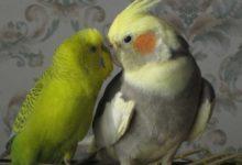 Photo of Корелла и волнистый попугай — могут ли жить вместе?