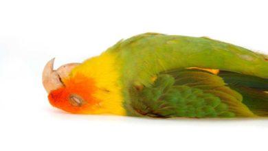 Photo of Причины смерти попугаев в домашних условиях