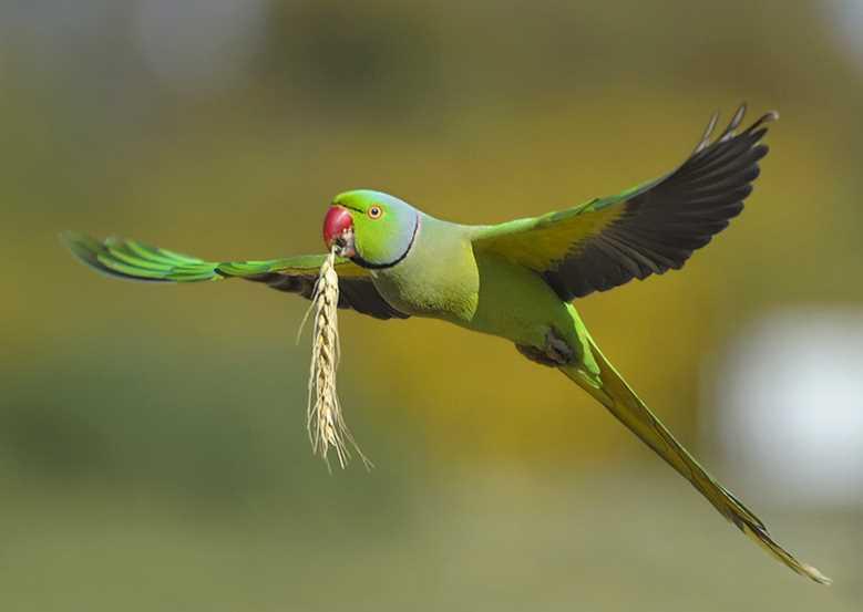 ожереловый попугай сколько лет живет