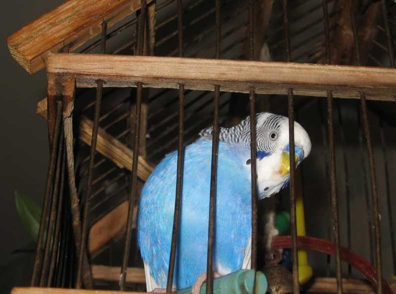 у попугая выпадают перья что делать