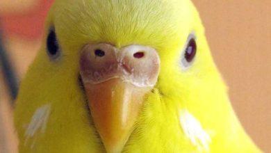 Photo of Что значит если попугай щелкает клювом
