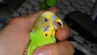 Photo of У волнистого попугая вырос длинный клюв что делать