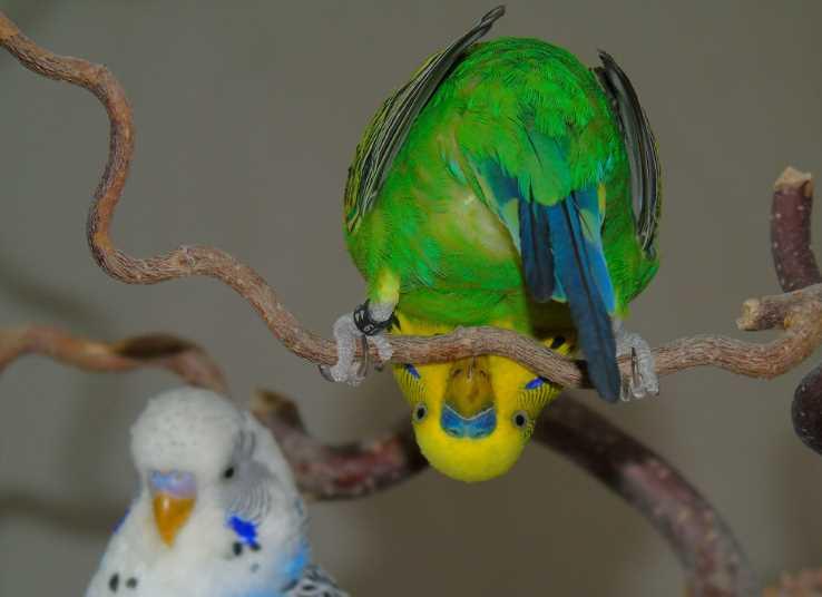 попугай перестал летать и падает причины