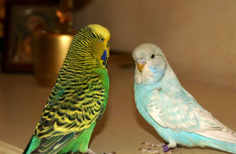 попугай ест свой помет что делать