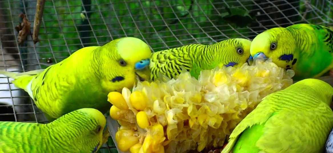 сколько попугай может прожить без воды