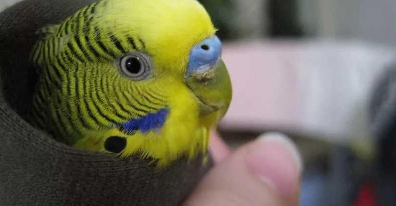 волнистого попугая восковица