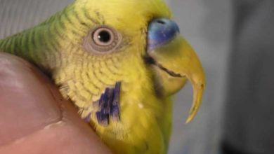 Photo of Нужно ли подрезать клюв попугаю