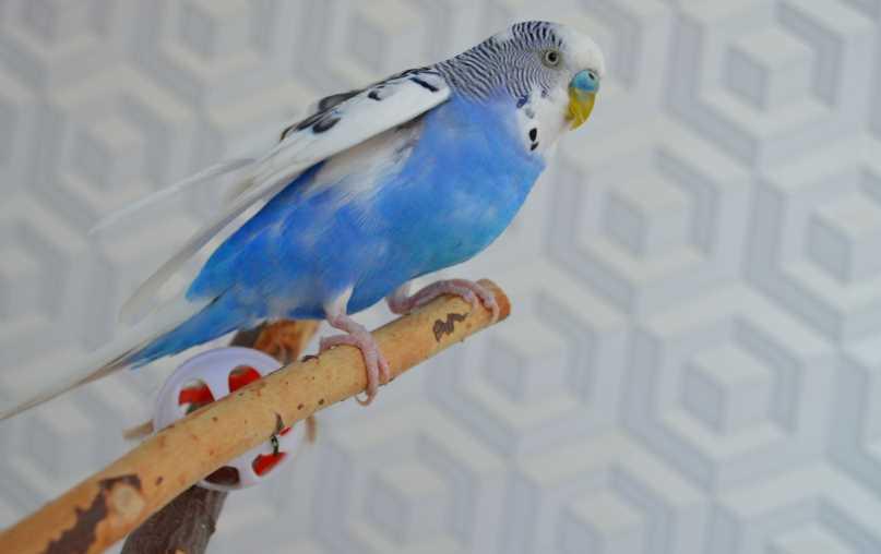 воспаление зоба у волнистых попугаев симптомы