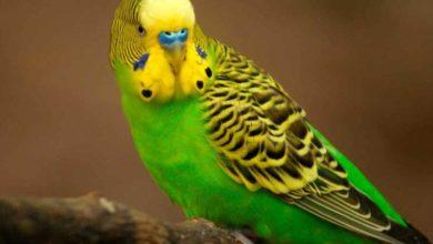У волнистого попугая опухоль внизу живота
