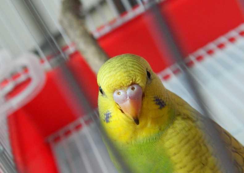 температура волнистого попугая