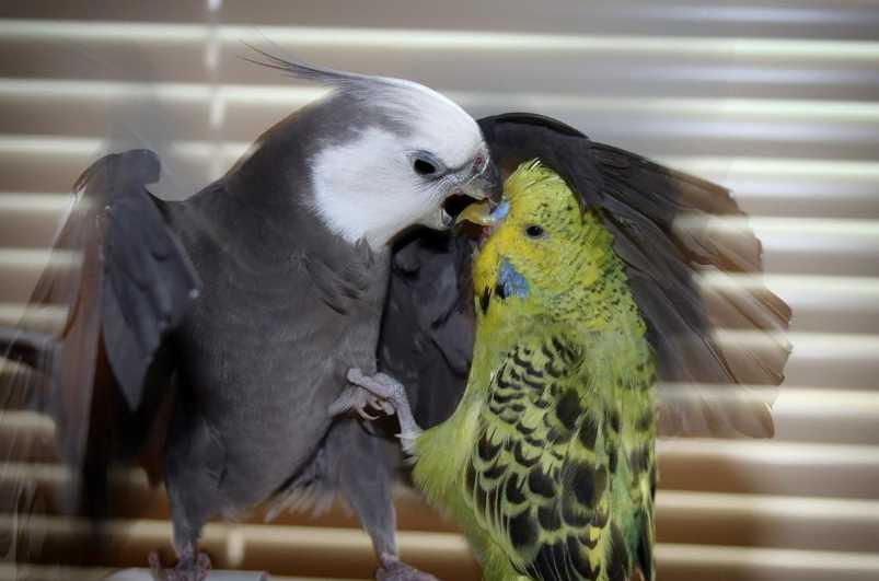 кто лучше волнистый попугай или корелла