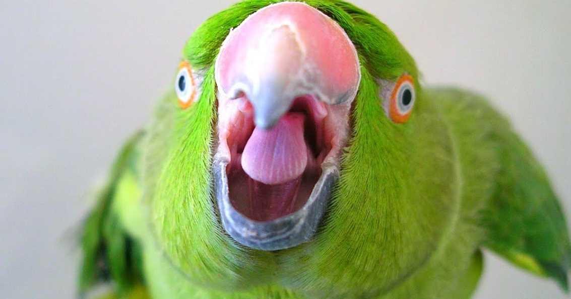 попугай орет