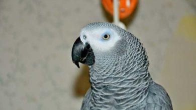 Photo of Попугай жако продолжительность жизни