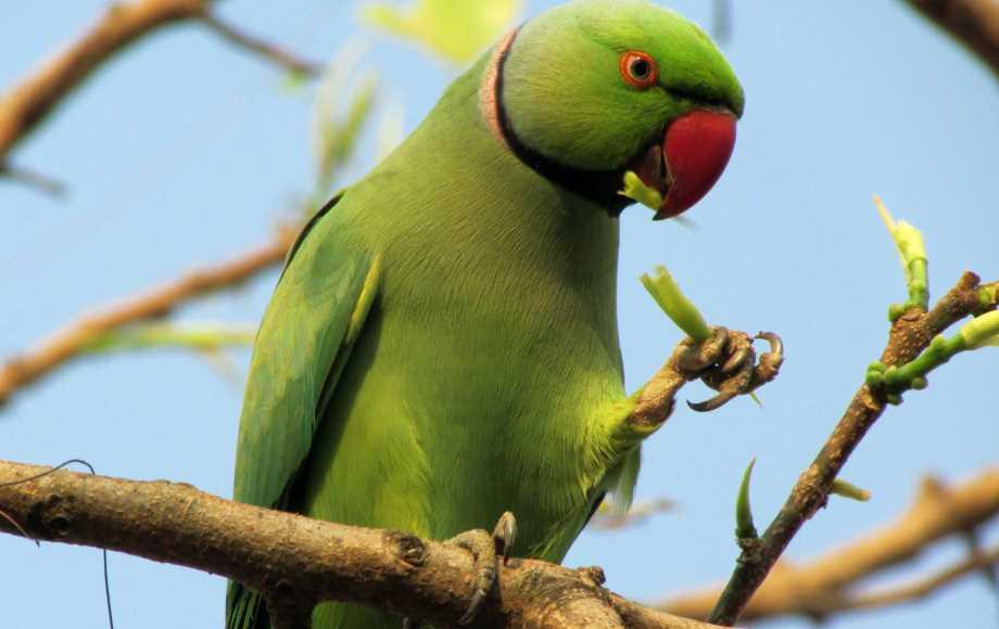 ожереловый попугай в домашних условиях сколько живут