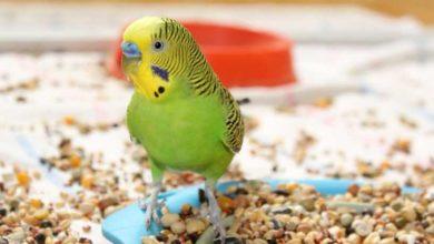 Попугай ест свой помет