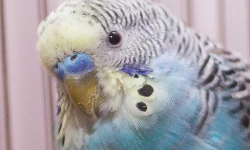 у волнистого попугая восковица