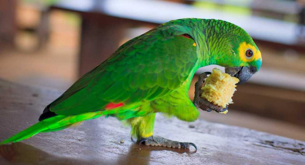 попугай синелобый