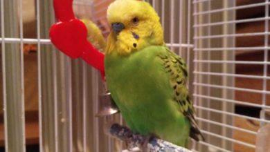 Воспаление зоба у волнистых попугаев