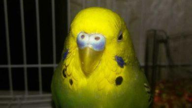 Photo of Как приучить попугая к рукам в первые дни покупки