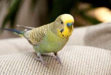 Photo of Через какое время после покупки попугая можно выпускать из клетки