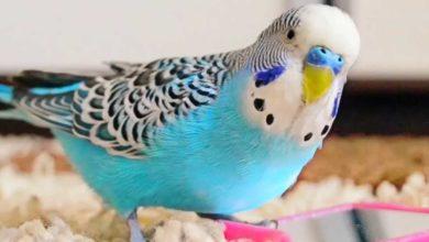 Инсульт у попугая