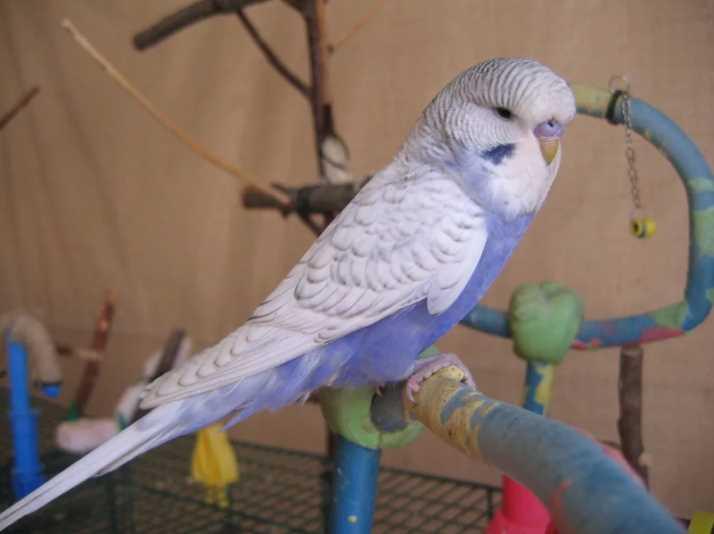 корелла и волнистый попугай в одной клетке