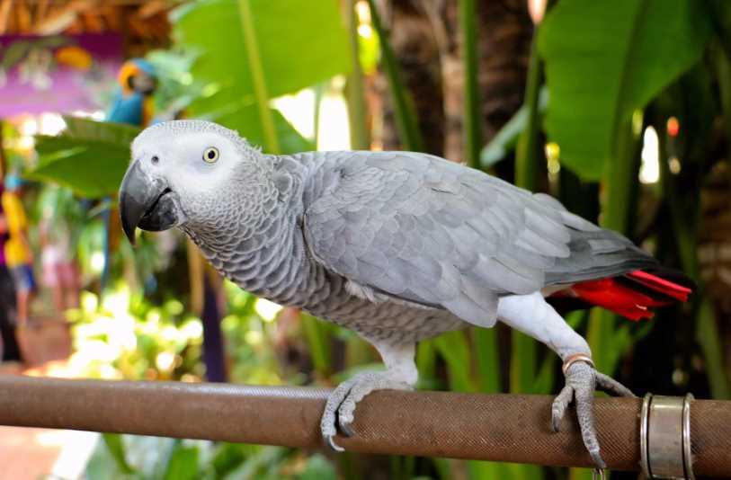 сколько живет попугай жако в домашних условиях