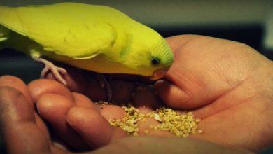 Cколько попугай может прожить без еды