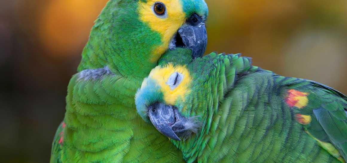 попугай синелобый амазон