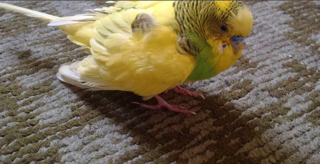 воспаление зоба у волнистых попугаев лечение