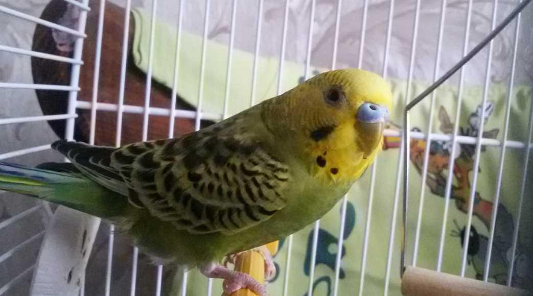 адаптация волнистого попугая