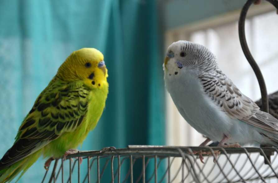 когда можно выпускать попугая из клетки