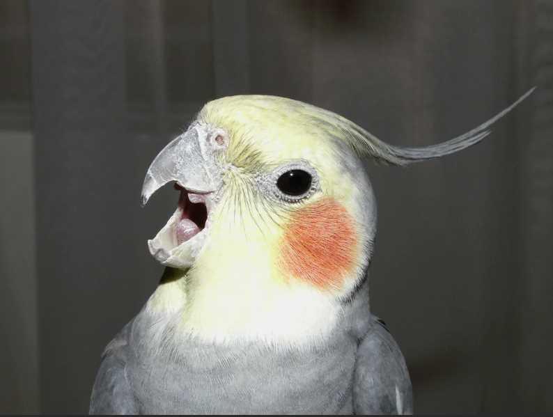 Какие попугаи разговаривают