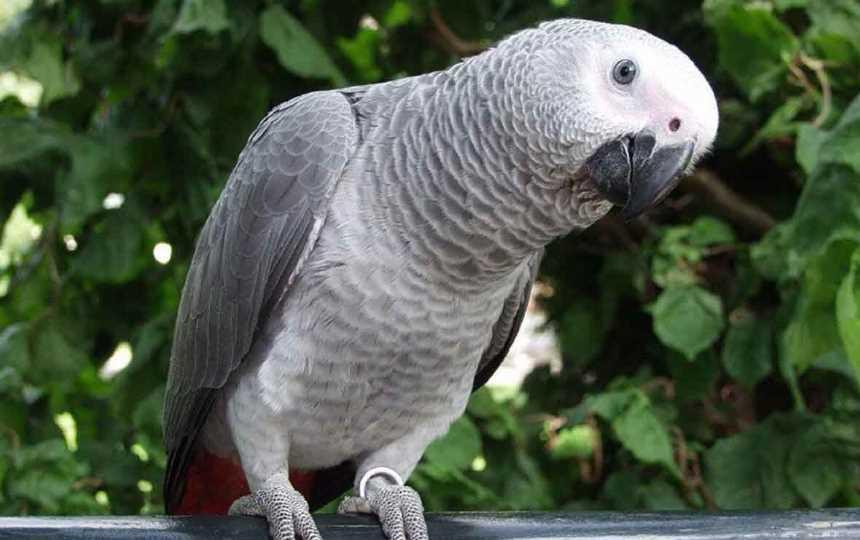 сколько живут попугаи жако