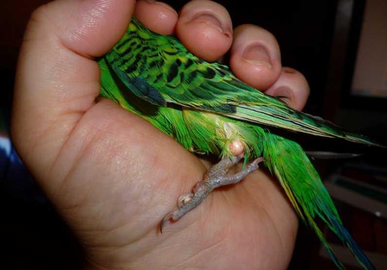 Синие лапки у волнистого попугая