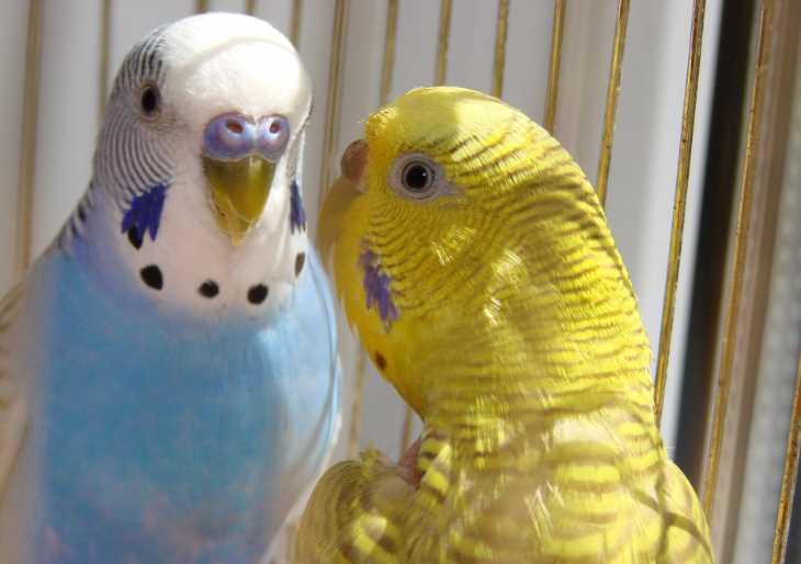 Пухопероеды у попугаев
