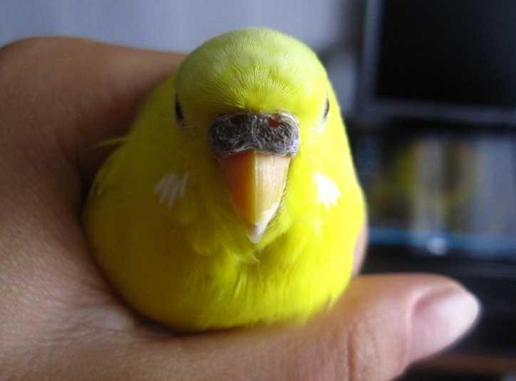 сухая восковица волнистого попугая