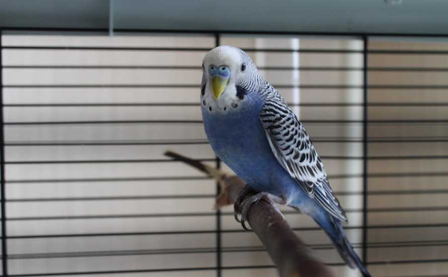 Почему волнистый попугай дрожит