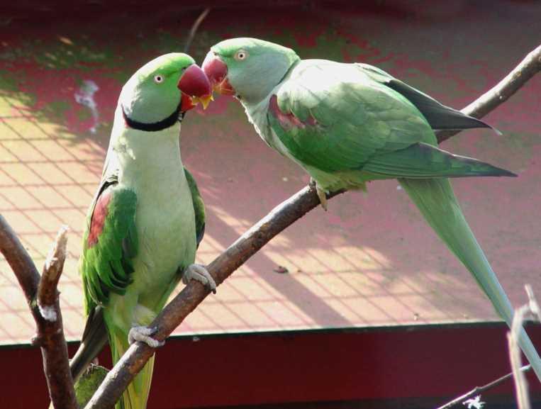 ожереловые попугаи сколько живут