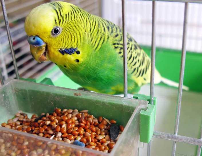 лысеет волнистый попугай