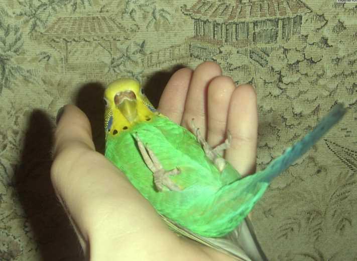 у попугая не работает лапка