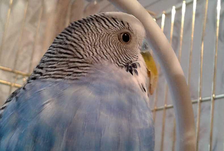 у попугая вырос длинный клюв что делать