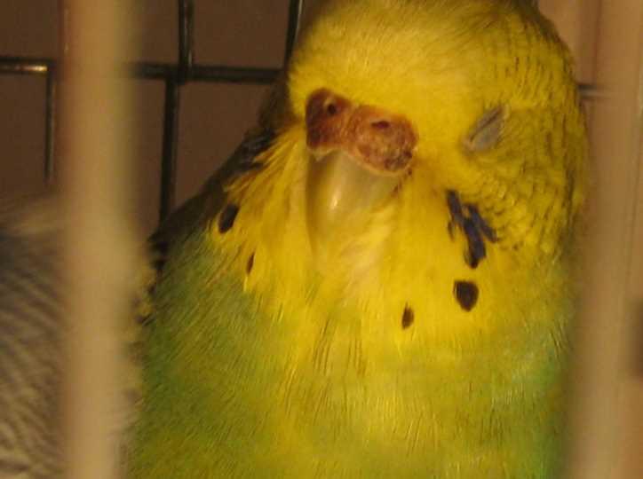 потемнела восковица самки волнистого попугая