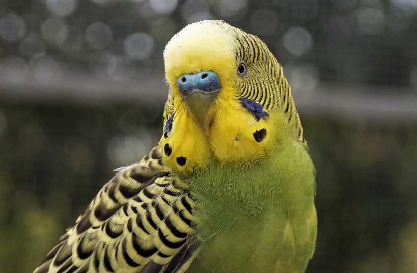 у попугая волнистого опухоль внизу живота