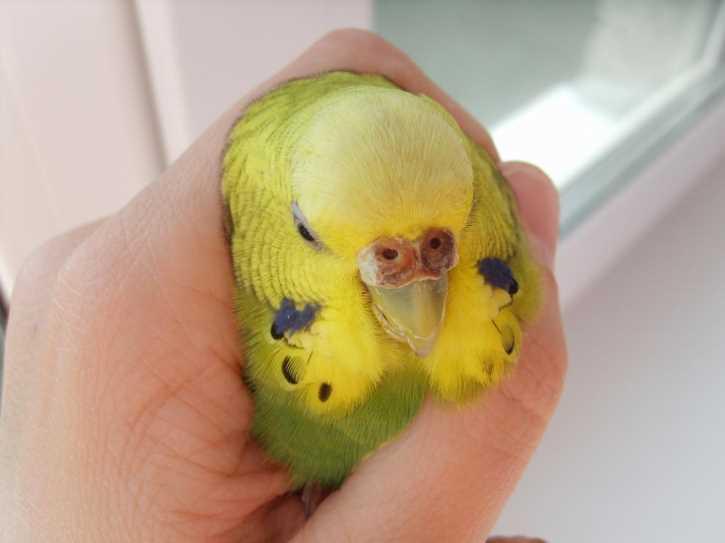 у волнистого попугая слоится восковица