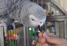 Photo of Можно ли приручить попугая Жако к рукам?