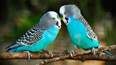 Грибок у волнистого попугая