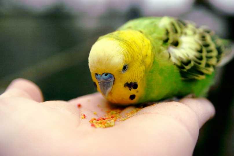 что делать если волнистый попугай боится своего хозяина