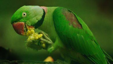 Photo of Питание ожерелового попугая